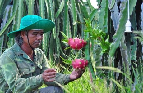 Thanh long VietGAP rộng đường xuất khẩu