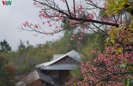 Hoa đào bừng sáng trời đông Mù Cang Chải