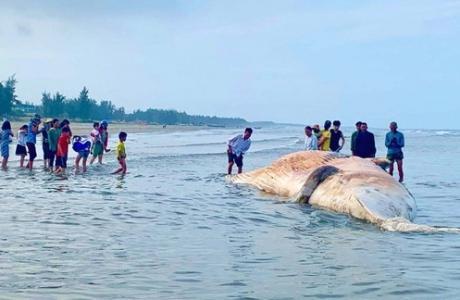 Hà Tĩnh: Phát hiện xác cá voi trôi dạt vào bờ biển