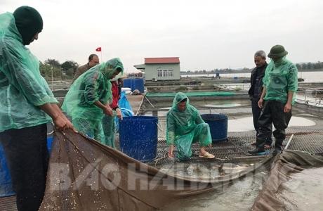 Làng tỷ phú cá chép giòn thở phào, giá bật tăng, lượng bán gấp đôi