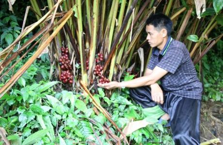 Mường La giúp dân giảm nghèo từ trồng cây dược liệu