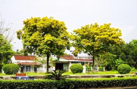 TP. Huế vàng rực sắc hoa sưa đầu hè