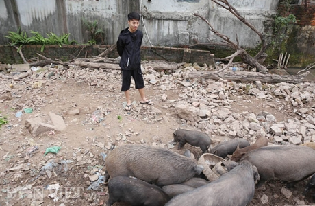 Nuôi đàn lợn rừng giữa quận Đống Đa, thủ đô Hà Nội