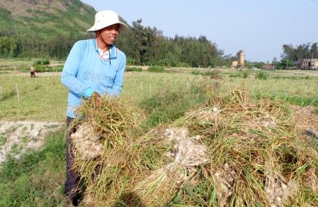 """Phát triển nông nghiệp sạch trên """"đảo tỏi"""" Lý Sơn"""