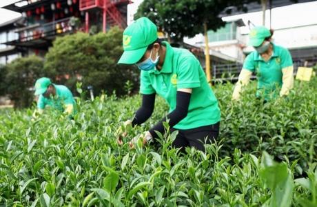 Lâm Đồng: Đẩy mạnh hình thành vùng chè ứng dụng công nghệ cao