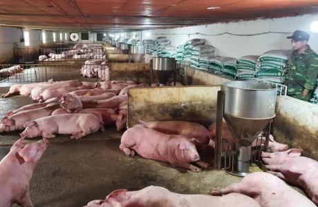 Tổng đàn lợn phục hồi 80% so với trước dịch