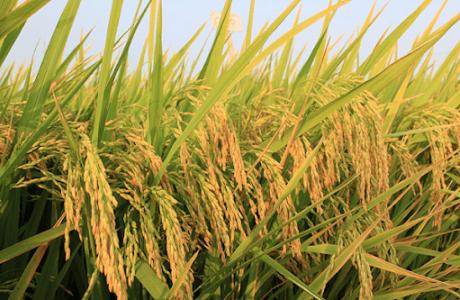 Để cây lúa giữ xanh lá đòng, vững vàng năng suất