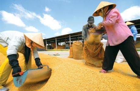 Hạt gạo Việt và câu chuyện