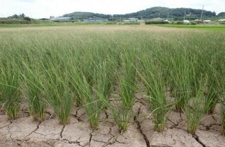 Những 'siêu giống lúa' chống biến đổi khí hậu