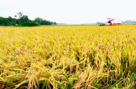 Sản lượng lúa Nam Bộ tăng 134 ngàn tấn dù giảm hàng chục ngàn ha