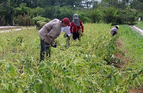 Thúc đẩy sản xuất cây vừng ổn định và bền vững ở Nghệ An
