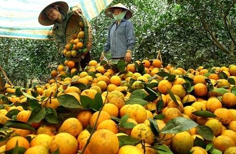 Hòa Bình: Cam Cao Phong vững giá trước biến động thị trường