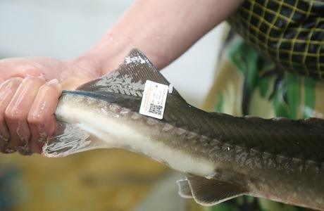 Lào Cai gắn tem truy xuất nguồn gốc cho cá tầm, cá hồi