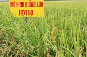 Giống lúa thuần HDT10 và HD11: bội thu của nhà nông
