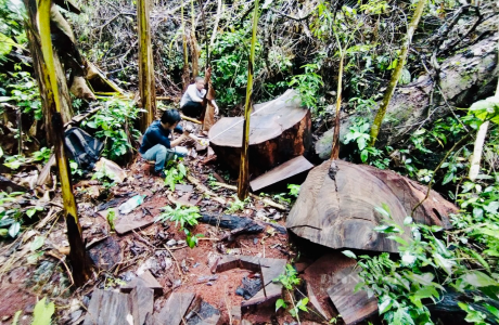 """Vụ phá rừng nghiến """"khủng"""" nhất Việt Nam: Hà Giang xác nhận hơn 710m3 gỗ nghiến bị tàn phá trong Vườn quốc gia Du Già"""