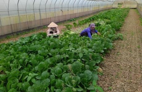 Nhân lên những 'vùng xanh' nông nghiệp Thủ đô