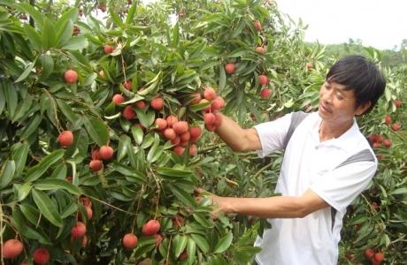 Bắc Giang: Hỗ trợ gần 50 tỷ đồng phát triển vùng sản xuất cây ăn quả